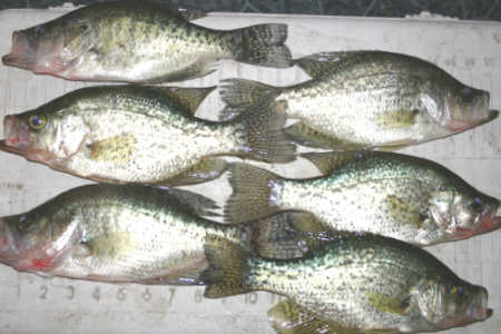 The crappies were going crazy over a 1/16 oz white Lunker City crappie jig fished on a Quantum Ultra Lite Spinning Outfit. The biggest crappie was 17 inches long and is currently being mounted